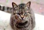 Обои Серая кошка с зелеными глазами на размытом фоне, by Mochamad Arief