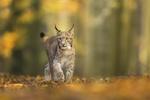 Обои Рысь стоит на осенней листве, by Andreas Bobanac