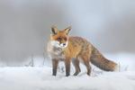 Обои Лиса на снегу, by Andreas Bobanac