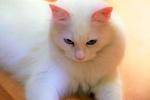 Обои Белая кошка на размытом фоне, by ekrem