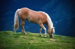 Обои Коричневая лошадь с белой гривой на траве, на размытом фоне, by Albrecht Fietz