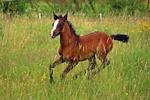 Обои Коричневая лошадь бежит по траве, by rihaij
