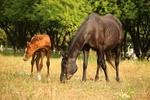Обои Лошадь с жеребенком пасутся на лугу на размытом фоне деревьев, by rihaij