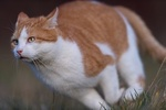 Обои Рыже-белая кошка, by Nadja Auer