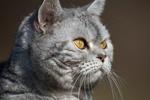 Обои Сереьристый кот с янтарными глазами, by Nadja Auer
