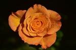 Обои Оранжевая роза с капельками воды на размытом фоне, by Ulrike Leone