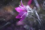 Обои Цветок анемона под падающим снегом, by Petra