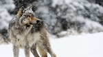 Обои Волк стоит под падающим снегом