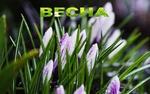 Обои Весенние крокусы в каплях росы, (весна)