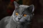 Обои Британская короткошерстная кошка на фоне боке, by Сonstantine Lagodenko