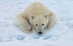 Обои Белый медведь на снегу, by Mike Reyfman