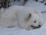 Обои Самоедская собака лежит на снегу, by Irene Sommerfeld-Stur