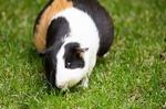 Обои Морская свинка на траве, by minka2507