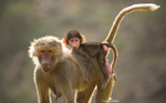 Обои Мама-обезьяна со своим детенышем, by JALAL ALHUSSAINI