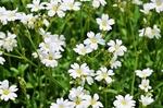 Обои Мелкие белые цветы на лугу, by Erika Varga