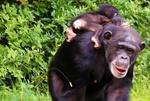 Обои Обезьяна шимпанзе с детенышем на размытом фоне природы, by Mark Murphy