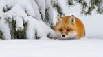 Обои Лиса притаилась в снегу под веткой сосны