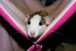 Обои Декоративная крыса сидит в гамаке, by Karsten Paulick