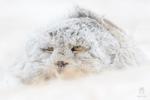 Обои Кошка в снегу
