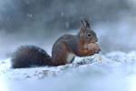 Обои Белочка с орешком сидит на снегу, by Fresco Photographie
