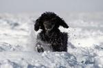 Обои Черный пудель в снегу, by Wolfgang Zimmel