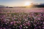 Обои Поле цветущей космеи освещается солнцем