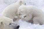 Обои Белые медведи на снегу, фотограф Anton Belovodchenko