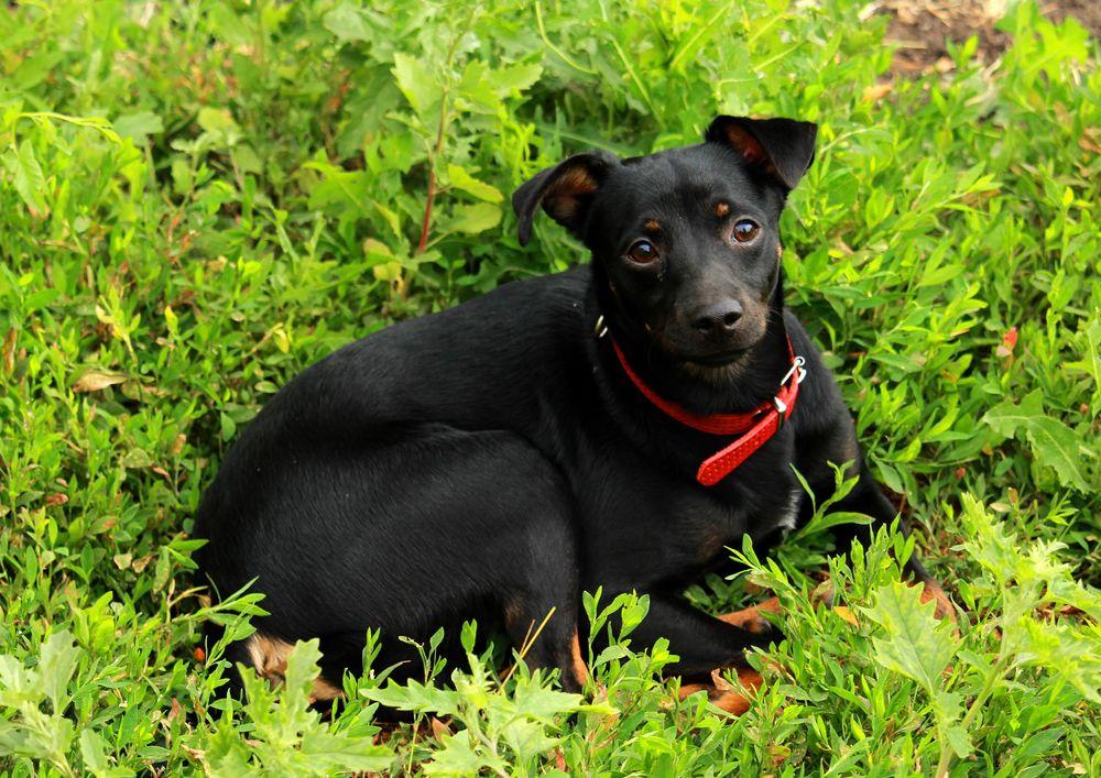 Обои для рабочего стола Черная собака лежит на траве, by Ирина Ирина