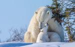 Обои Бедая медведица с медвежатами на снегу