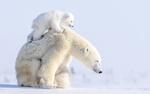 Обои Белый медвежонок сидит на спине медведицы, идущей по снегу