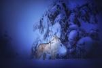 Обои Чехословацкий волчак стоит в снегу, by Ilona Mikkonen Photography