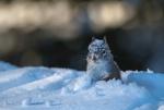 Обои Белочка сидит в снегу