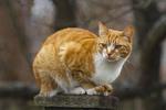 Обои Рыжий кот сидит на деревянном столбике
