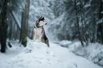 Обои Лайка на прогулке в зимнем лесу, фотограф Светлана Писарева