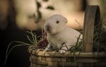 Обои Белый кролик в корзине