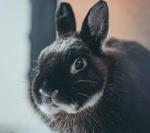 Обои Черный милый кролик, by Ingmar