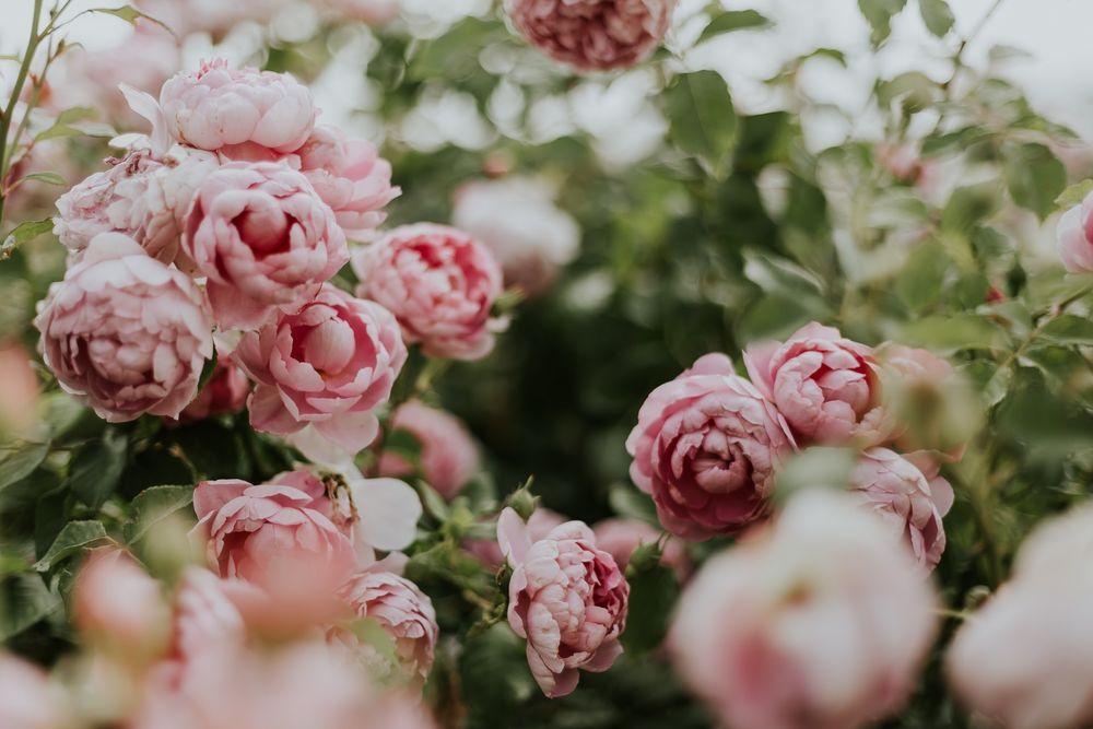 Обои для рабочего стола Розовые розы на кусте, by Daiga Ellaby