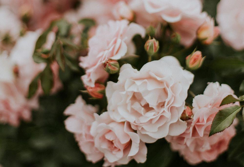 Обои для рабочего стола Розовые розы на размытом фоне, by Daiga Ellaby