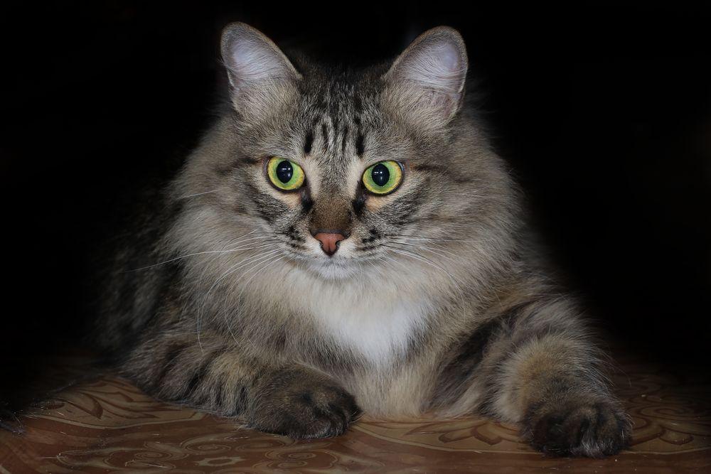 Обои для рабочего стола Кот с зелеными глазами