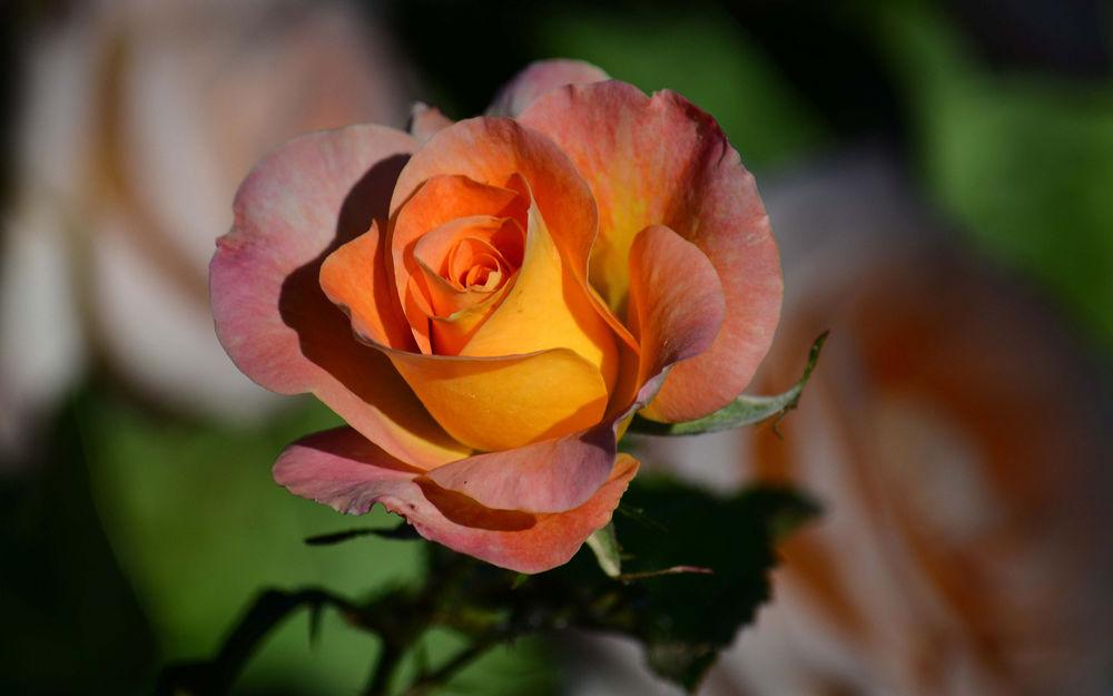 Обои для рабочего стола Желто-оранжевая роза на размытом фоне