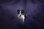 Обои Собака среди лаванды. Фотограф Audrey Bellot