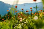 Обои Полевые цветы на фоне гор. Фотограф Андрей Шумилин