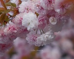 Обои Весенняя цветущая ветка, by Ray Gramm William