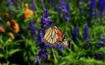 Обои Бабочка на цветке, by Rachel Hecht