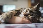 Обои Серая в полоску кошка положила лапку на руку хозяина, фотограф Stephen Tam