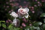 Обои Бело - розовые розы на размытом фоне, by Ms photography