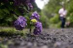 Обои Куст гортензии у дороги, by Ms photography