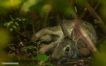 Обои Кролик лежит на земле. Фотограф Майк Рейфман