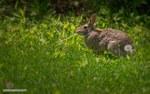 Обои Кролик на траве. Фотограф Майк Рейфман