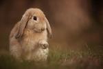 Обои Кролик сидит на траве, фотограф Adamec Robert